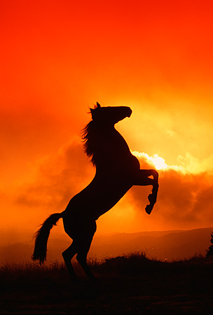 HOR 01 RK0408 09 © Kimball Stock Silhouette Profile Of Quarter Horse Rearing Red Orange Sky With Clouds