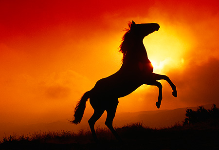 HOR 01 RK0410 16 © Kimball Stock Silhouette Profile Of Quarter Horse Rearing Sunset Background