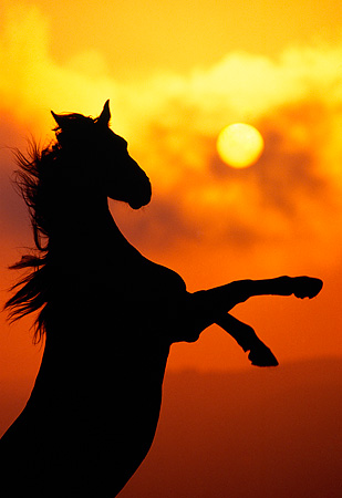 HOR 01 RK0481 07 © Kimball Stock Silhouette Of Horse Rearing Sunset Background