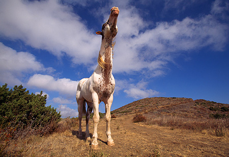 HOR 01 RK0517 04 © Kimball Stock Humorous Full Body Wide Angle Of Pinto Horse Standing Hills Blue Sky Clouds