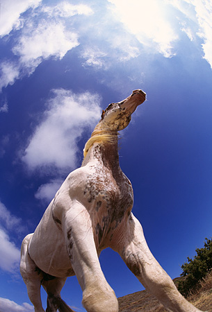 HOR 01 RK0520 01 © Kimball Stock Low Wide And Slanted Angle Of Pinto Horse Standing On Dirt Blue Sky White Clouds