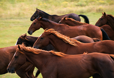 HOR 01 RK0533 01 © Kimball Stock Close-Up Of Herd of Horses Galloping Through Field