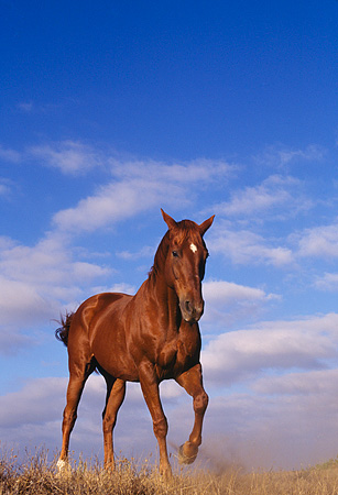 HOR 01 RK0567 03 © Kimball Stock Low Shot Of Chestnut Horse Galloping Legs Up Dry Grass Blue Sky Clouds