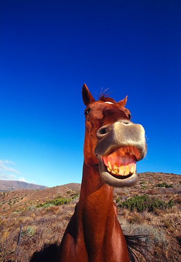 HOR 01 RK0571 07 © Kimball Stock Chestnut Horse Laughing