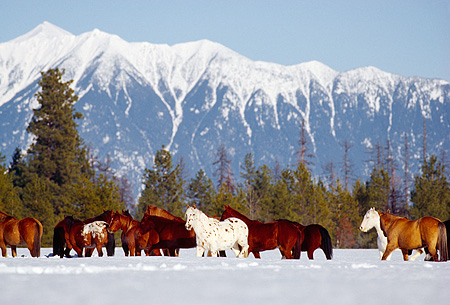 HOR 01 RK0601 08 © Kimball Stock Herd of Horses Galloping Together On Snow Mountains Trees Blue Sky