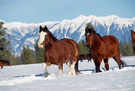 HOR 01 RK0601 18 © Kimball Stock Herd of Horses Galloping Together On Snow Mountains Trees Blue Sky
