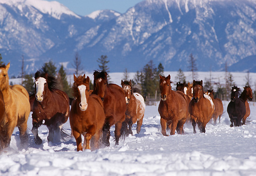HOR 01 RK0601 43 © Kimball Stock Herd of Horses Galloping Together On Snow Mountains Trees Blue Sky