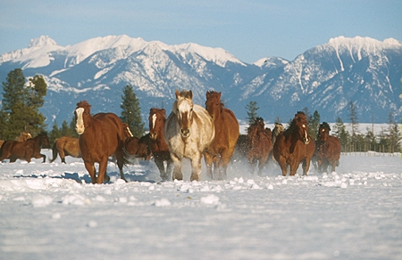 HOR 01 RK0601 46 © Kimball Stock Herd of Horses Galloping Together On Snow Mountains Trees Blue Sky