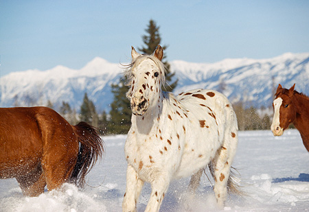 HOR 01 RK0601 55 © Kimball Stock Herd of Horses Galloping Together On Snow Mountains Trees Blue Sky