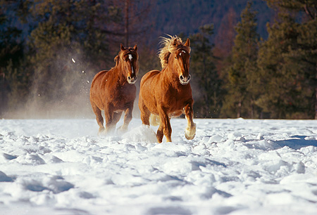 HOR 01 RK0603 02 © Kimball Stock Two Horses Galloping On Snow Towards Camera Trees Background