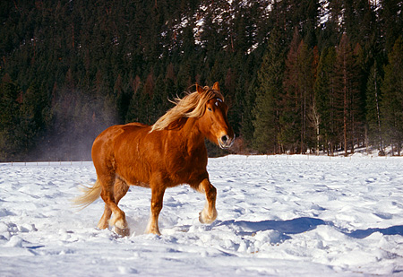 HOR 01 RK0607 04 © Kimball Stock Flaxen Chestnut Horse Trotting On Snow Trees Background