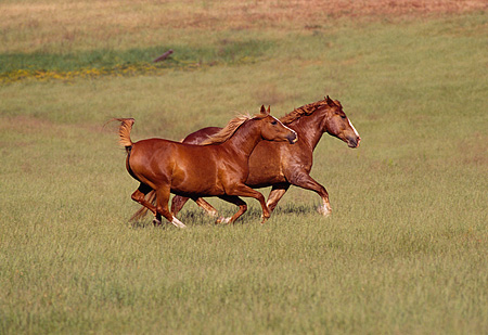 HOR 01 RK0617 02 © Kimball Stock Profile Shot Of Arabian and Belgian Horses Running Together On Green Pasture