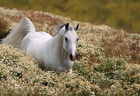 HOR 01 RK0631 02 © Kimball Stock White Arabian Stallion Cantering Through Tall Bushes
