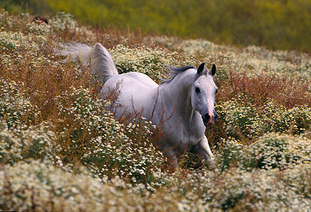 HOR 01 RK0631 07 © Kimball Stock White Arabian Stallion Cantering Through Tall Bushes