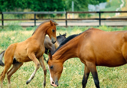HOR 01 RK0635 04 © Kimball Stock Bay Arabian Mare And Foal Grazing In Pasture