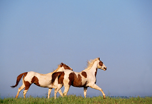 HOR 01 RK0648 02 © Kimball Stock Pinto Horses Cantering On Grass