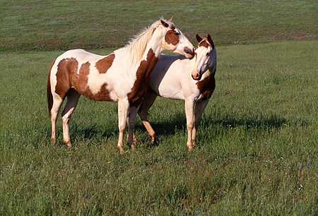 HOR 01 RK0650 01 © Kimball Stock Two Pinto Horses Standing On Green Pasture