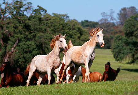 HOR 01 RK0653 05 © Kimball Stock Herd of Horses Galloping Together On Green Pasture By Trees