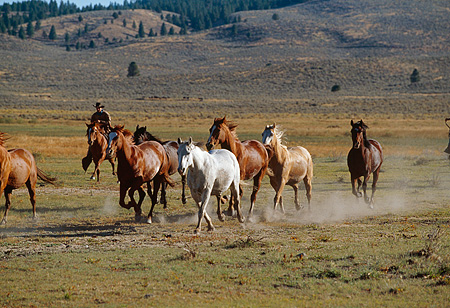 HOR 01 RK0658 03 © Kimball Stock A Herd Of Horses Galloping On Green Pasture Herded By Wrangler Mountains Background