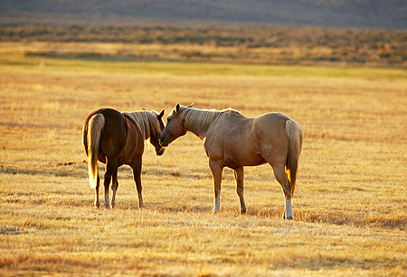 HOR 01 RK0668 01 © Kimball Stock Two Palomino Horses Nuzzling In Dry Grass Field
