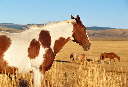 HOR 01 RK0672 01 © Kimball Stock Pinto Horse Standing By Tall Dry Grass Horses Background Blue Sky