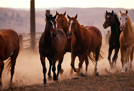 HOR 01 RK0679 01 © Kimball Stock A Herd Of Horses Galloping On Dirt Making Dust