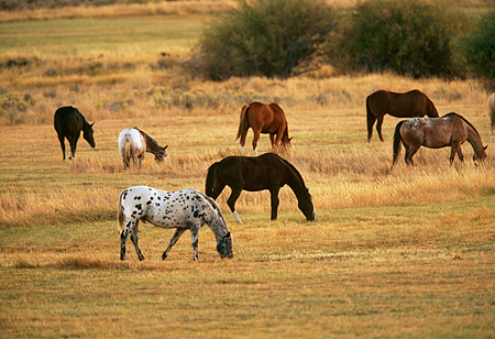 HOR 01 RK0680 02 © Kimball Stock A Herd Of Horses Grazing In Pasture