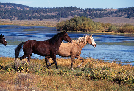 HOR 01 RK0686 03 © Kimball Stock Profile Shot Of A Herd Of Horses Trotting By Shrubs And Water Mountains Blue Sky
