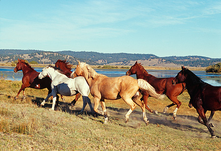 HOR 01 RK0688 01 © Kimball Stock A Herd Of Horses Running Together By Water Mountains Blue Sky