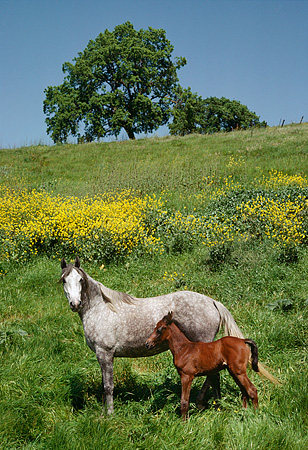 HOR 01 RK0747 01 © Kimball Stock Dapple Gray Arabian Mare And Bay Foal Standing On Grassy Hill By Tree Blue Sky