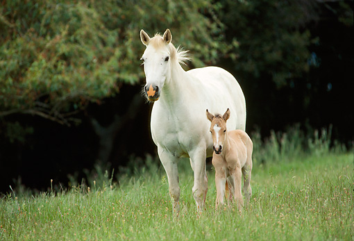 HOR 01 RK0751 17 © Kimball Stock White Mare Standing With Buckskin Foal In Pasture