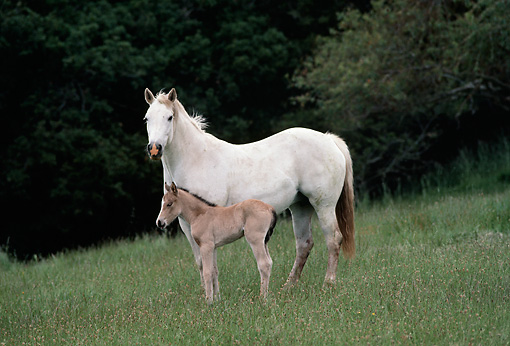 HOR 01 RK0751 42 © Kimball Stock White Mare Standing With Buckskin Foal In Pasture