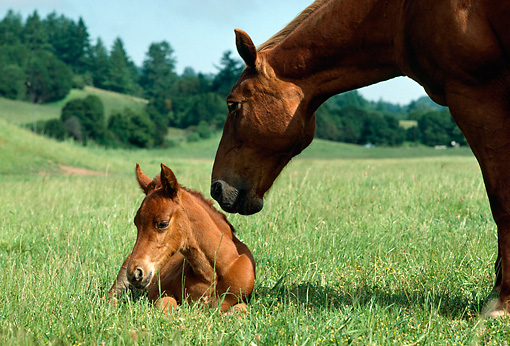 HOR 01 RK0834 03 © Kimball Stock Chestnut Mare Nuzzling Foal On In Pasture By Trees