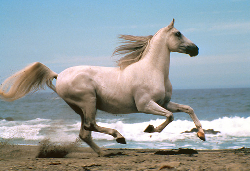 HOR 01 RK0856 22 © Kimball Stock White Stallion Galloping On Beach By Water Blue Sky