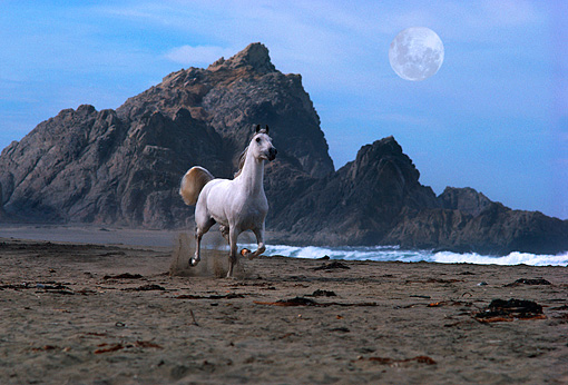 HOR 01 RK0857 04 © Kimball Stock Gray Arabian Stallion Galloping On Beach Rocks Background