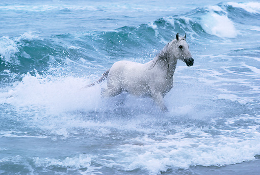 HOR 01 RK0863 01 © Kimball Stock Gray Arabian Stallion Emerging From Ocean Surf