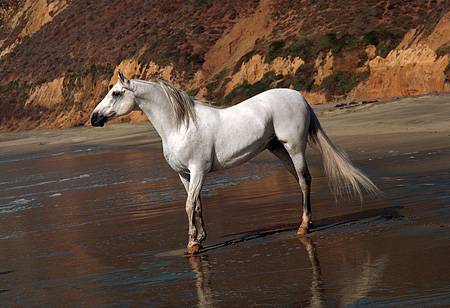 HOR 01 RK0864 07 © Kimball Stock Gray Arabian Stallion Standing On Beach By Cliffs