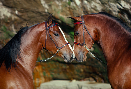 HOR 01 RK0871 10 © Kimball Stock Head Shot Of Two Bay Arabian Stallions Nuzzling By Rocks