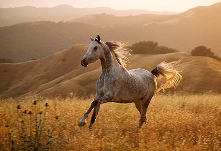HOR 01 RK0899 01 © Kimball Stock Dapple Gray Arabian Stallion Cantering On Pasture Hills Background