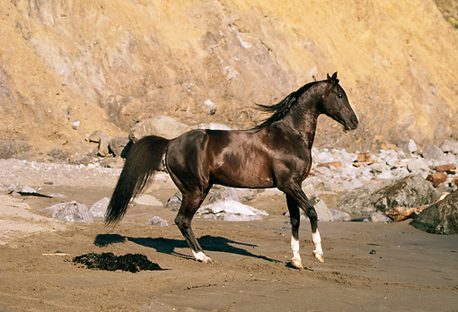 HOR 01 RK0903 42 © Kimball Stock Black Stallion On Wet Sand At Beach By Cliffs