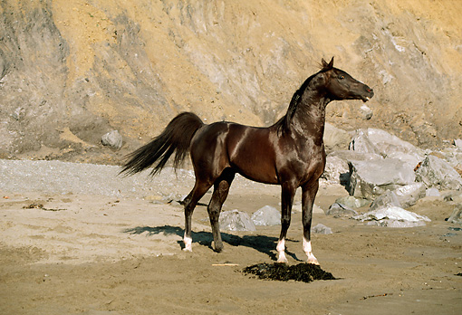 HOR 01 RK0903 52 © Kimball Stock Black Stallion On Wet Sand At Beach By Cliffs