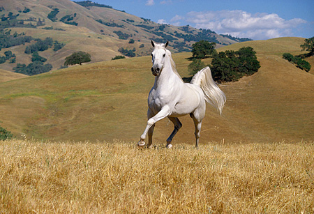 HOR 01 RK0953 01 © Kimball Stock White Stallion Galloping On Pasture By Hills