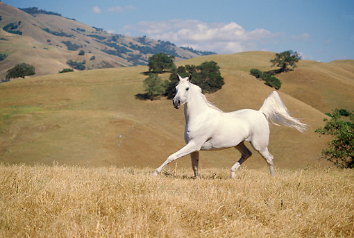 HOR 01 RK0953 09 © Kimball Stock White Stallion Galloping On Pasture By Hills
