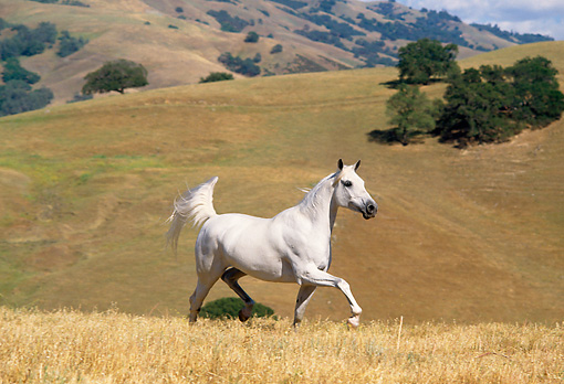 HOR 01 RK0953 14 © Kimball Stock White Stallion Galloping On Pasture By Hills