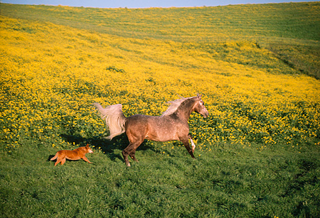 HOR 01 RK0968 01 © Kimball Stock Chocolate Palomino Arabian Horse Cantering With Dog On Yellow Flower Field