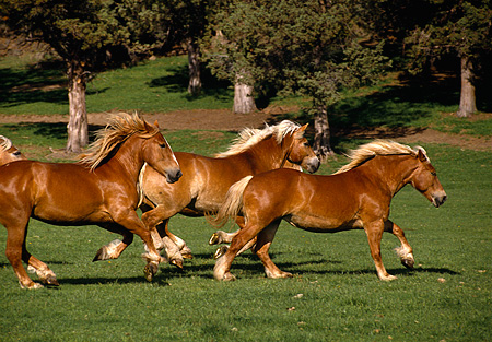 HOR 01 RK0997 01 © Kimball Stock Herd Of Belgian Horses Galloping On Grass By Trees