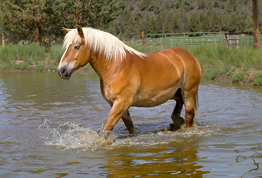 HOR 01 RK1000 01 © Kimball Stock Belgian Horse Wading In Pond