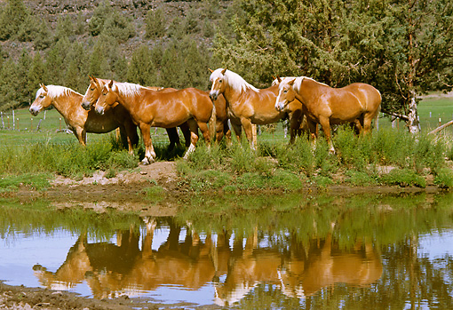 HOR 01 RK1001 28 © Kimball Stock Herd Of Belgian Horses Standing By Water By Trees
