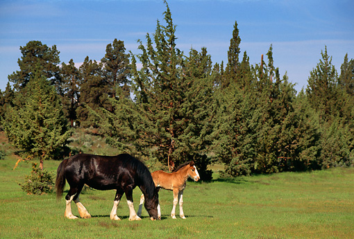 HOR 01 RK1017 01 © Kimball Stock Black Clydesdale Mare And Bay Foal Grazing On Pasture