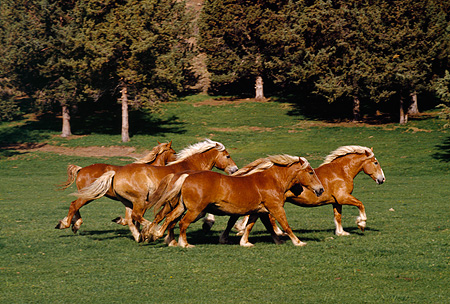 HOR 01 RK1039 06 © Kimball Stock Herd Of Belgian Horses Galloping On Pasture By Trees
